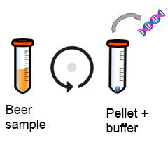 Extraction of beer spoiler DNA