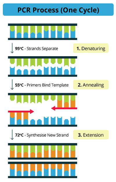 PCR cycle